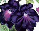 Georgia O'Keeffe : Black and Purple Petunias : $345